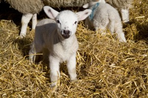 Lamb in straw