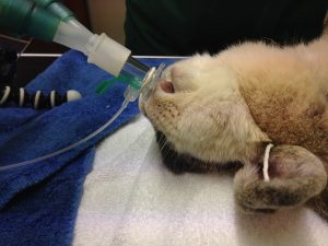 Rabbits have one of the highest published anaesthetic death rates of any companion animal species