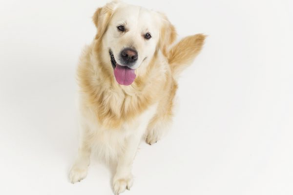 image in article about pet trade brands is a Golden Retriever portrait