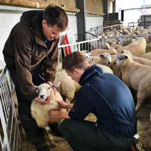 New study reveals surprising findings on fluke control in sheep