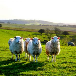Study into sheep disease aims to remove shame and increase transparency